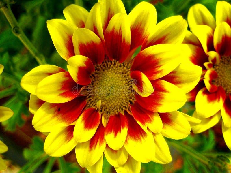 Copies jaunes de beaux-arts de papier peint de fond de fleur de chrysanthème image libre de droits