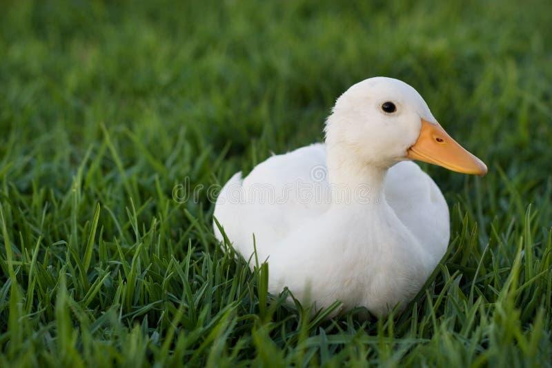 copiez le texte de l'espace de pelouse de canard images stock