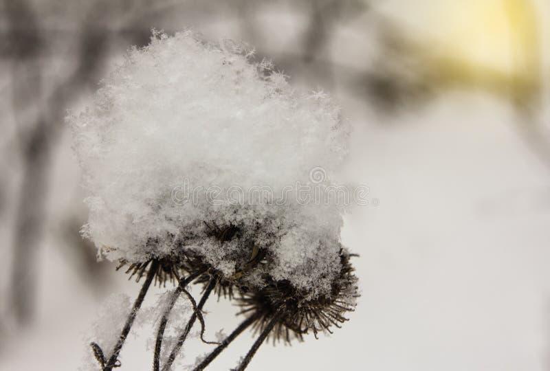 Copos de nieve en las semillas del cardo durante una puesta del sol del invierno fotografía de archivo libre de regalías