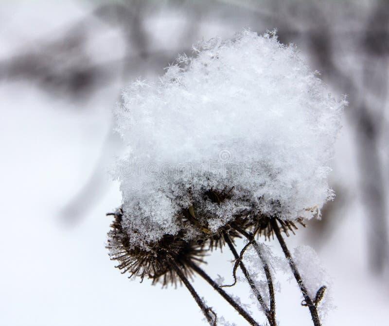 Copos de nieve mullidos en un cardo imagen de archivo