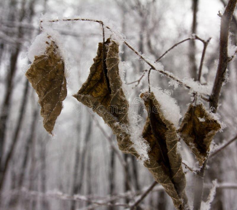 Copos de nieve mullidos encendido en las hojas congeladas del olmo imagen de archivo libre de regalías