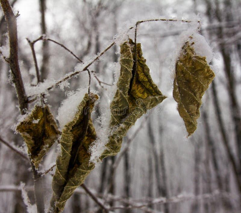 Copos de nieve mullidos encendido en las hojas congeladas del olmo fotos de archivo libres de regalías