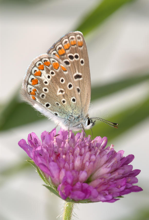 Free Copper-butterfly On A Clover Stock Images - 11842814