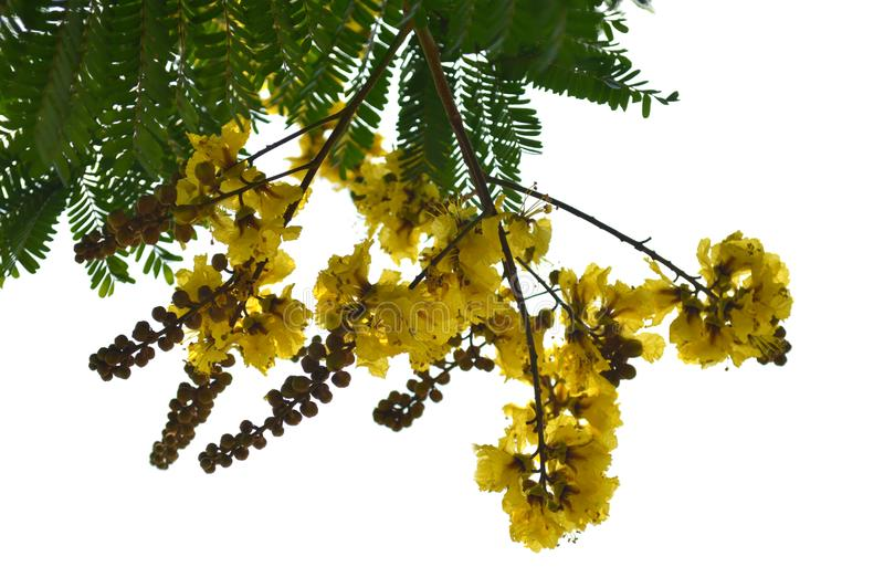 Copper pod flower. Peltophorum pterocarpum, Central of Thailand royalty free stock photo