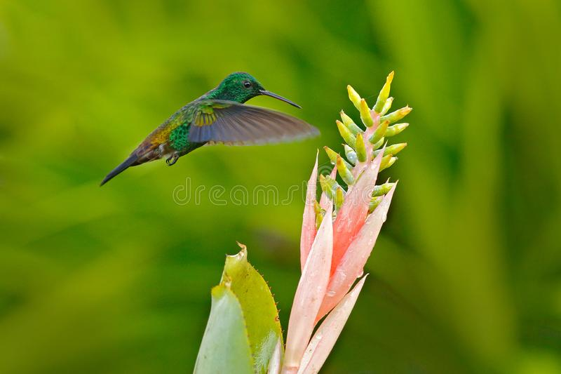 Copper-rumped hummingbird, Amazilia tobaci, flying bird wuth pink flower bloom, Trinidad and Tobago. Hummingbird from Caribbean. Wildlife scene from nature royalty free stock photography