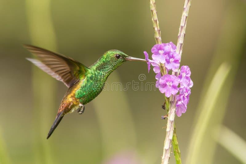 Copper-rumped hummingbird, Amazilia tobaci hovering next to violet flower, bird in flight, caribean Trinidad and Tobago. Natural habitat, beautiful hummingbird stock image