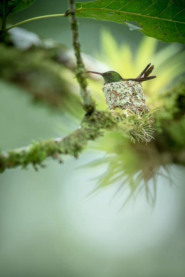 Copper-rumped hummingbird Amazilia tobaci sitting on nest on branch, caribean tropical forest, Trinidad and Tobago. Natural habitat, nesting hummingbird, green royalty free stock photography