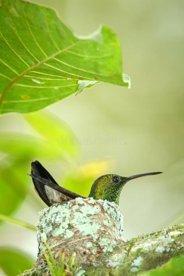 Copper-rumped hummingbird Amazilia tobaci sitting on nest on branch, caribean tropical forest, Trinidad and Tobago. Natural habitat, nesting hummingbird, green stock photos