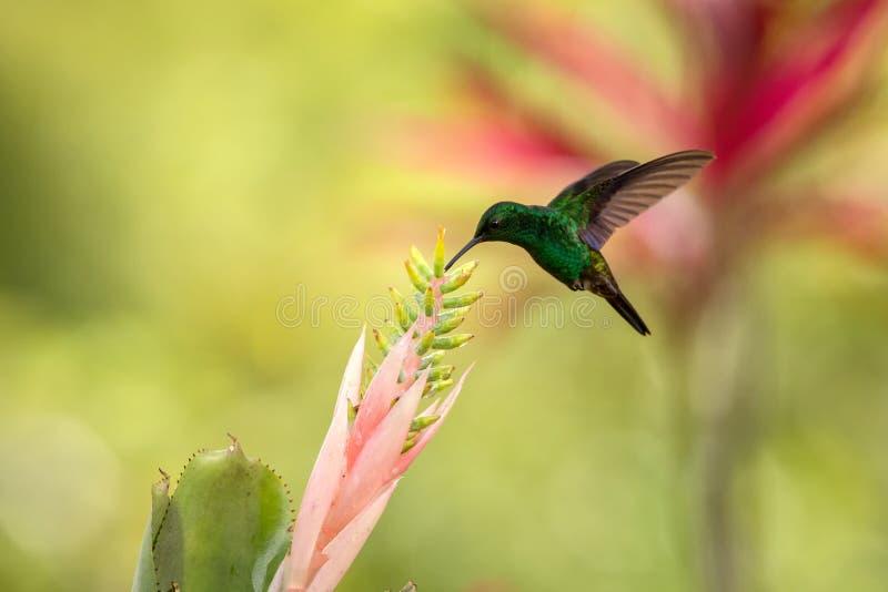 Copper-rumped Hummingbird hovering next to pink flower, bird in flight, caribean tropical forest, Trinidad and Tobago. Natural habitat, hummingbird sucking stock images