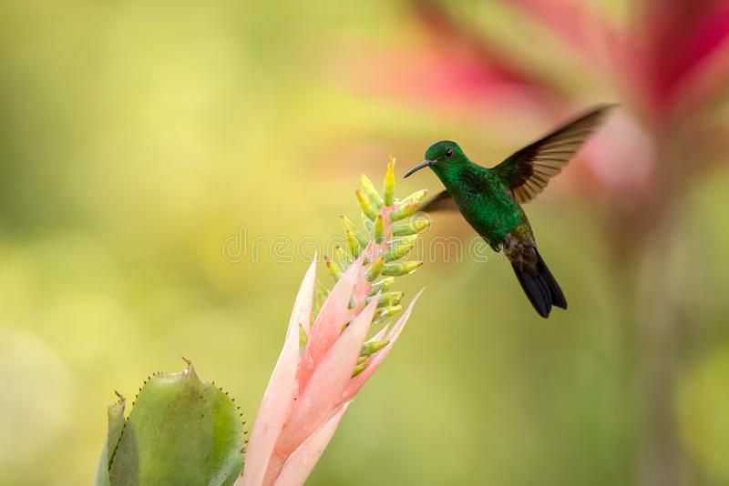 Copper-rumped Hummingbird hovering next to pink flower, bird in flight, caribean tropical forest, Trinidad and Tobago. Natural habitat, hummingbird sucking royalty free stock photo