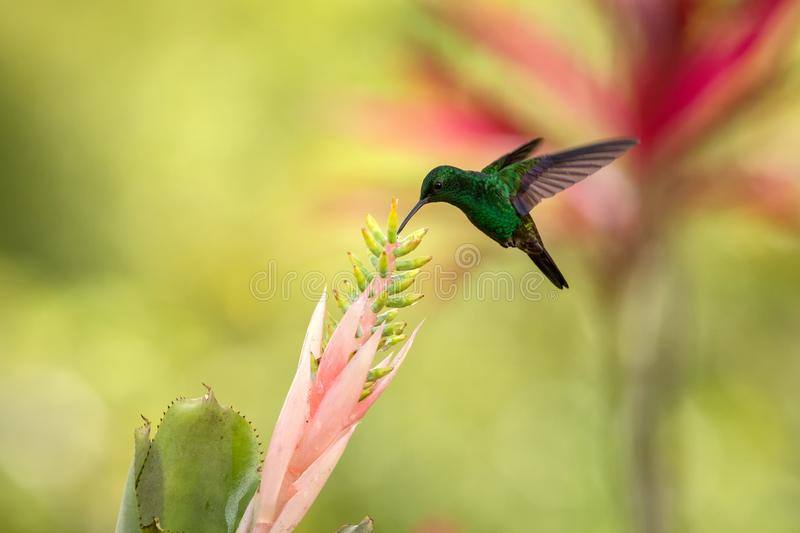 Copper-rumped Hummingbird hovering next to pink flower, bird in flight, caribean tropical forest, Trinidad and Tobago. Natural habitat, hummingbird sucking stock photography