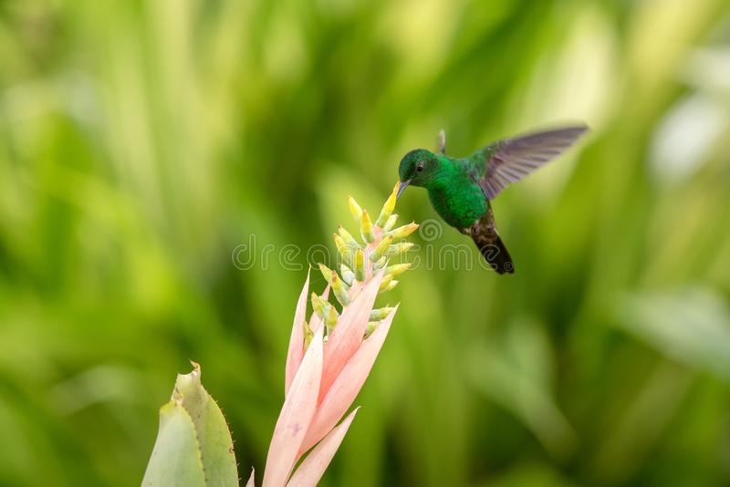 Copper-rumped Hummingbird hovering next to pink flower, bird in flight, caribean tropical forest, Trinidad and Tobago. Natural habitat, hummingbird sucking royalty free stock images