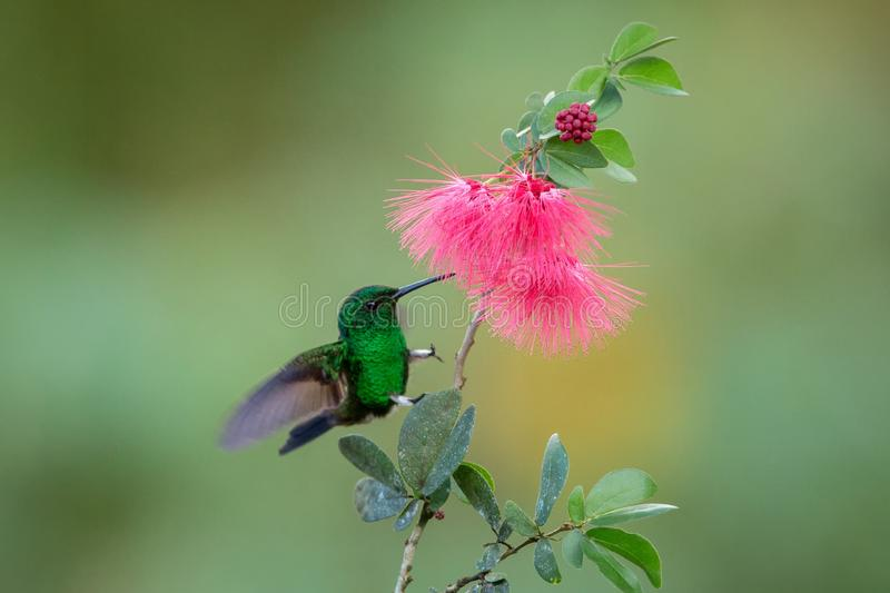Copper-rumped Hummingbird hovering next to pink mimosa flower, bird in flight, caribean tropical forest, Trinidad and Tobago. Natural habitat, hummingbird royalty free stock image