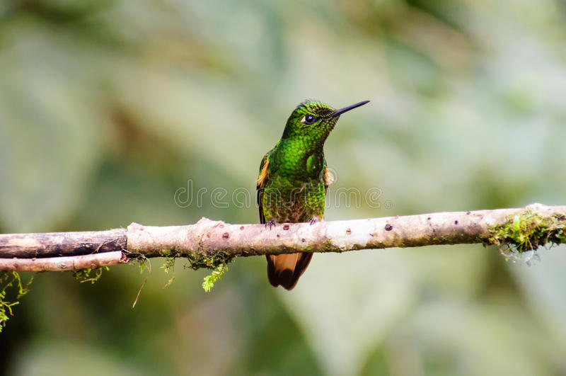 A Copper rumped Hummingbird resting on a branch. A brightly coloured Copper rumped Hummingbird resting on a branch stock photos