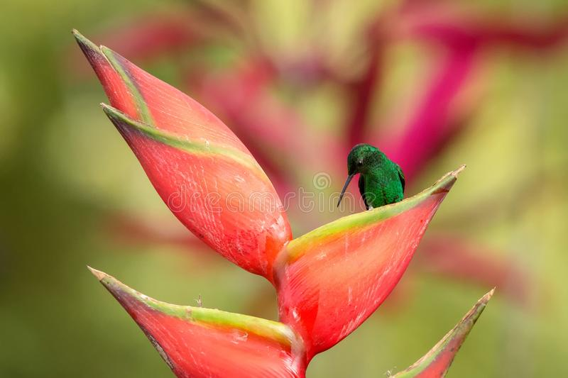 Copper-rumped Hummingbird sitting on red flower, caribean tropical forest, Trinidad and Tobago, natural habitat. Beautiful hummingbird sucking nectar,colouful stock photos