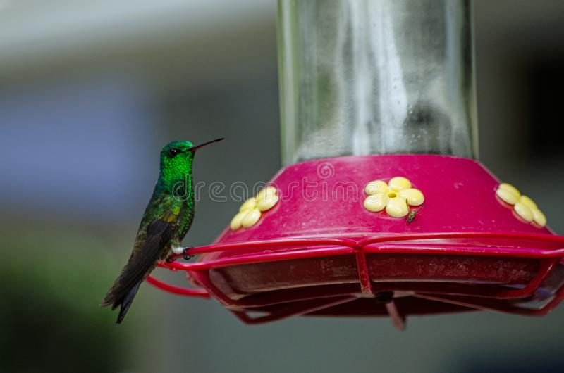 Copper Rumped Hummingbird, Tobago. A copper rumped hummingbird, latin name Amazilia tobaci, perching on a nectar feeder in the rainforest of Tobago, Trinidad and royalty free stock image