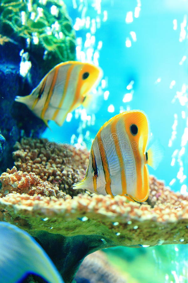 Copperband蝴蝶鱼,额嘴coralfish 免版税库存照片