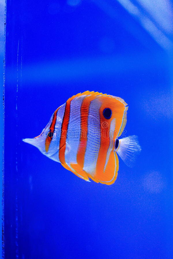Copperband蝴蝶鱼,额嘴coralfish 免版税库存图片