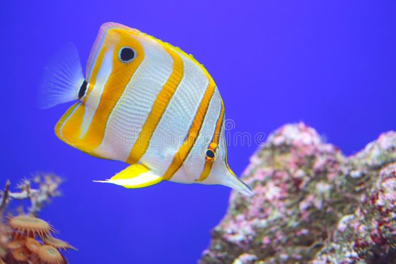Copperband蝴蝶鱼,鱼在和平和印地安海洋礁石发现了  免版税库存图片