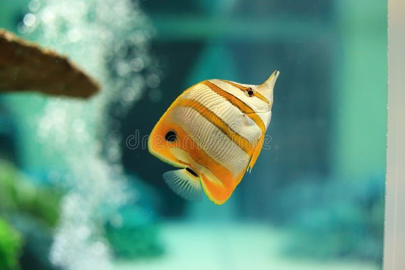 Copperband蝴蝶鱼 免版税库存图片
