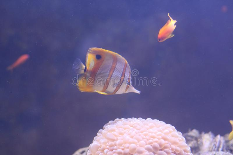 Copperband蝴蝶鱼 免版税图库摄影