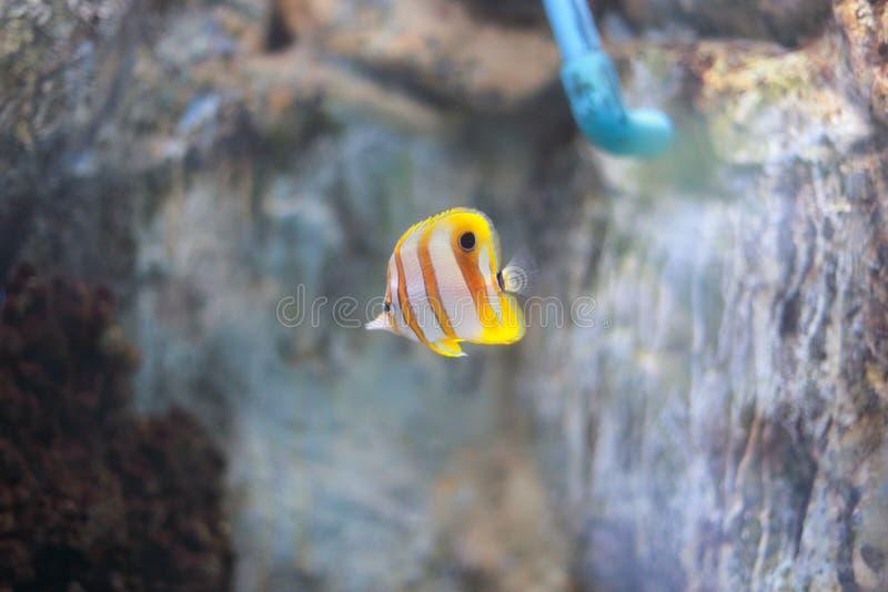 Copperband蝴蝶鱼 图库摄影