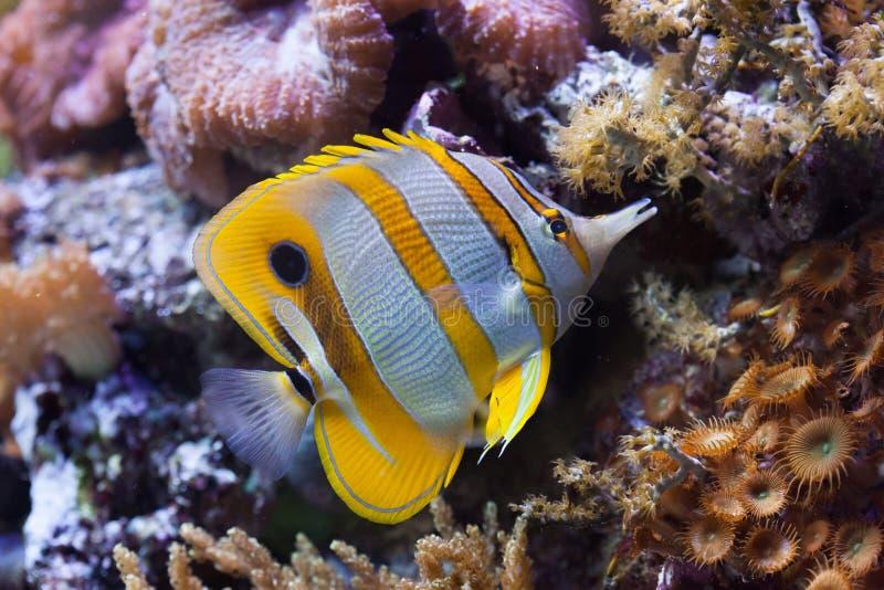 Copperband蝴蝶鱼(Chelmon rostratus) 免版税库存图片