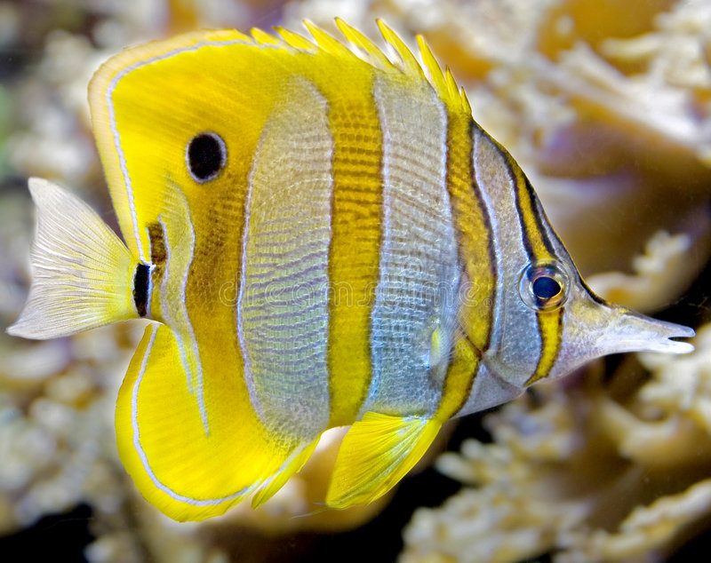 Copperband butterfly fish 5 stock image