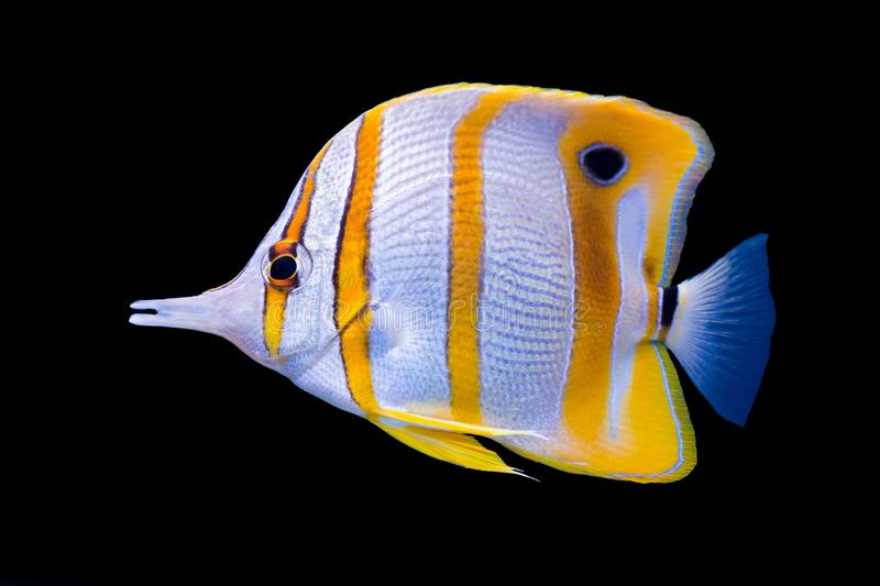 Copperband butterfly fish swim in coral reef aquarium tank. Copperband butterfly fish enjoy in coral reef aquarium tank royalty free stock images