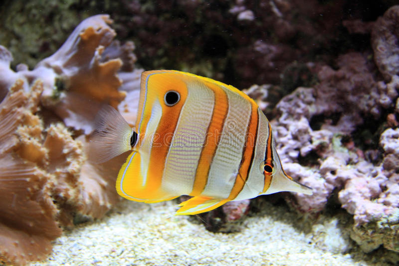 Copperband Butterflyfish stock foto's