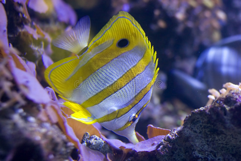 Copperband Butterflyfish photos libres de droits