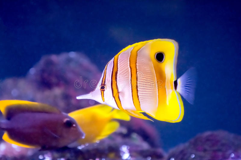 Copperband-Schmetterlings-Fische stockfotografie