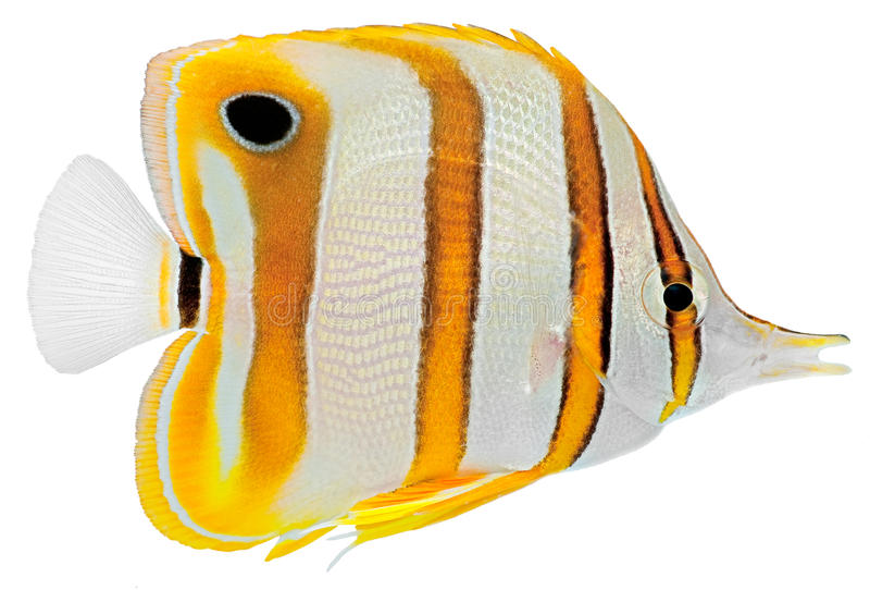 Copperbanded Butterfly fish. Isolated in white background. (Chelmon Rostratus