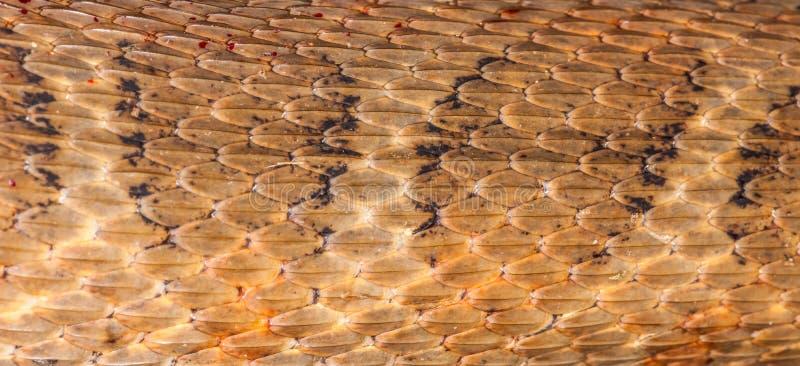 copperhead стоковые фотографии rf