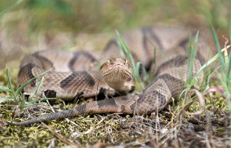 Copperhead Pit Viper snake coiled in the grass. Copperhead, Agkistrodon contortrix, is a species of venomous snake, a pit viper, in Eastern North America. Heat stock photo