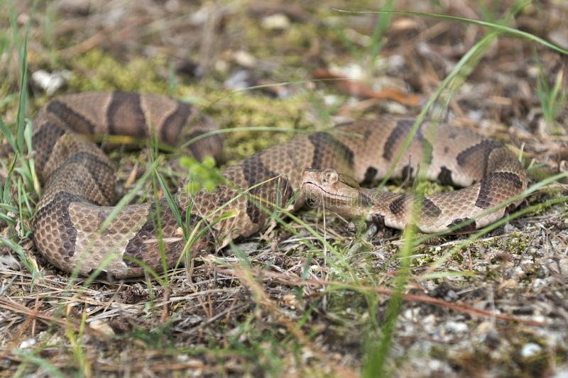 Copperhead Pit Viper snake coiled in the grass. Copperhead, Agkistrodon contortrix, is a species of venomous snake, a pit viper, in Eastern North America. Heat royalty free stock images