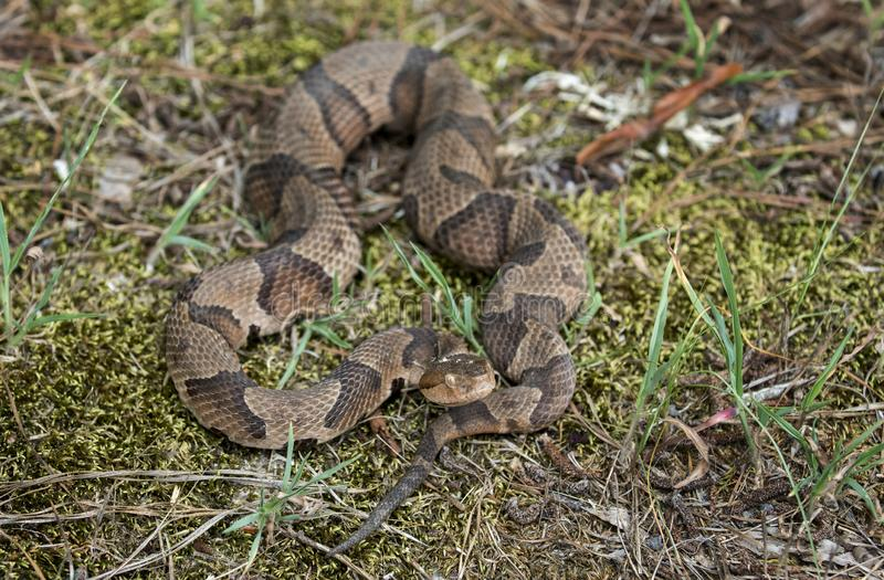 Copperhead Pit Viper snake coiled in the grass. Copperhead, Agkistrodon contortrix, is a species of venomous snake, a pit viper, in Eastern North America. Heat stock photos