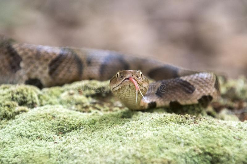 Copperhead Pit Viper flicking tongue. Agkistrodon contortrix, is a species of venomous snake, a pit viper, in Eastern North America. Heat-sensing pit organ royalty free stock images