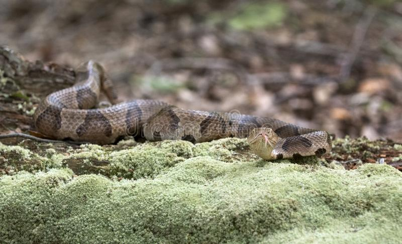 Copperhead Pit Viper snake camouflage on moss covered log. Copperhead, Agkistrodon contortrix, is a species of venomous snake, a pit viper, in Eastern North royalty free stock photography