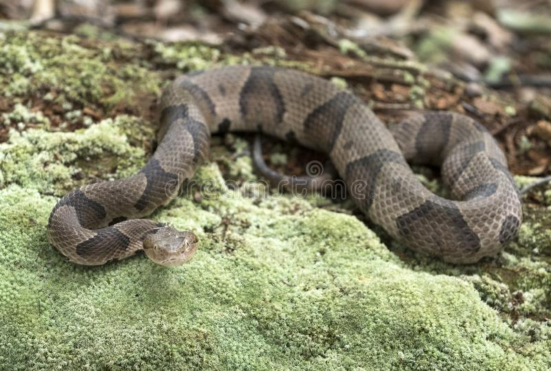 Copperhead Pit Viper snake coiled on moss covered log. Copperhead, Agkistrodon contortrix, is a species of venomous snake, a pit viper, in Eastern North America stock photo