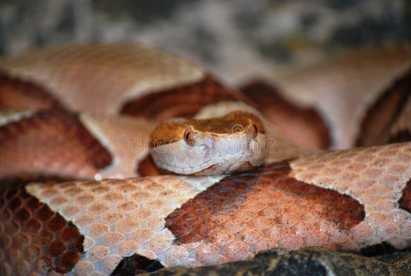 Copperhead Schlange stockbilder
