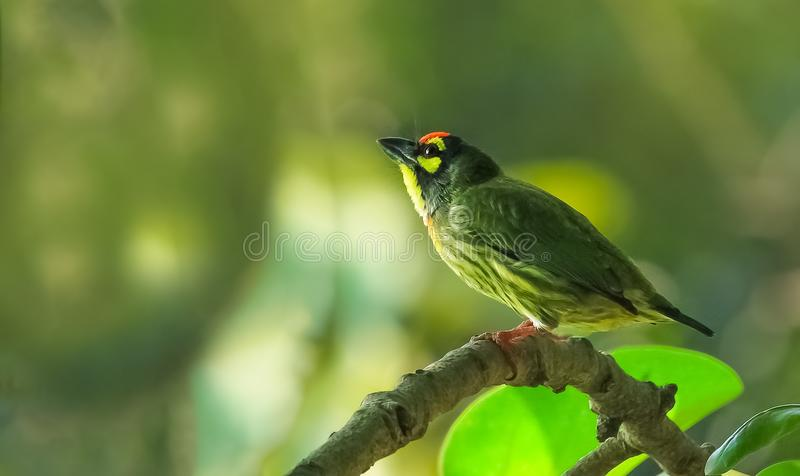 Coppersmith Barbet stock image