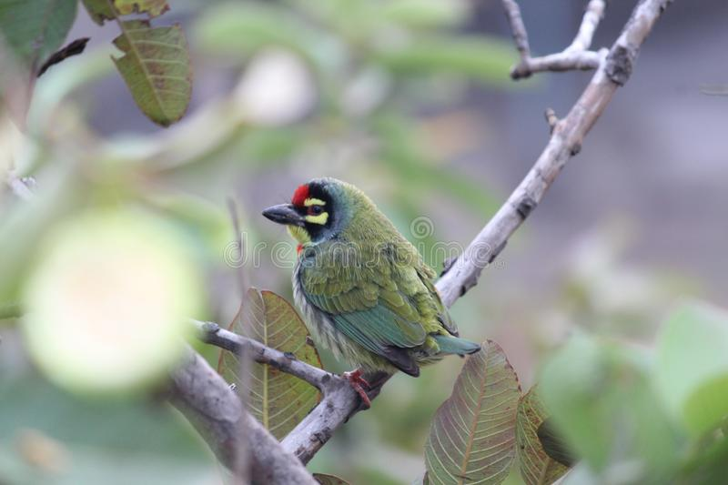 Coppersmith barbet stock images