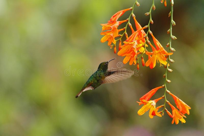 Coppery-headed Emerald, Elvira cupreiceps, hovering next to orange flower, bird from mountain tropical forest, Costa Rica. Coppery-headed Emerald, Elvira royalty free stock photo