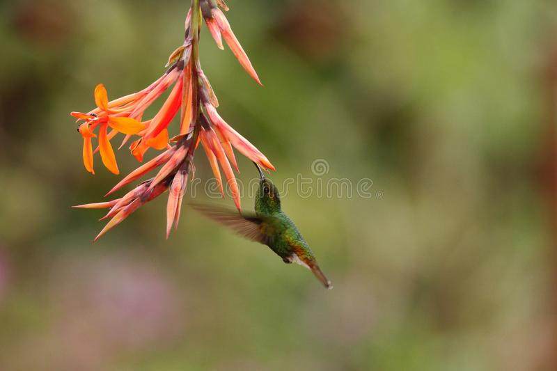 Coppery-headed Emerald, Elvira cupreiceps, hovering next to orange flower, bird from mountain tropical forest. Waterfall Gardens La Paz, Costa Rica, beautiful royalty free stock photography