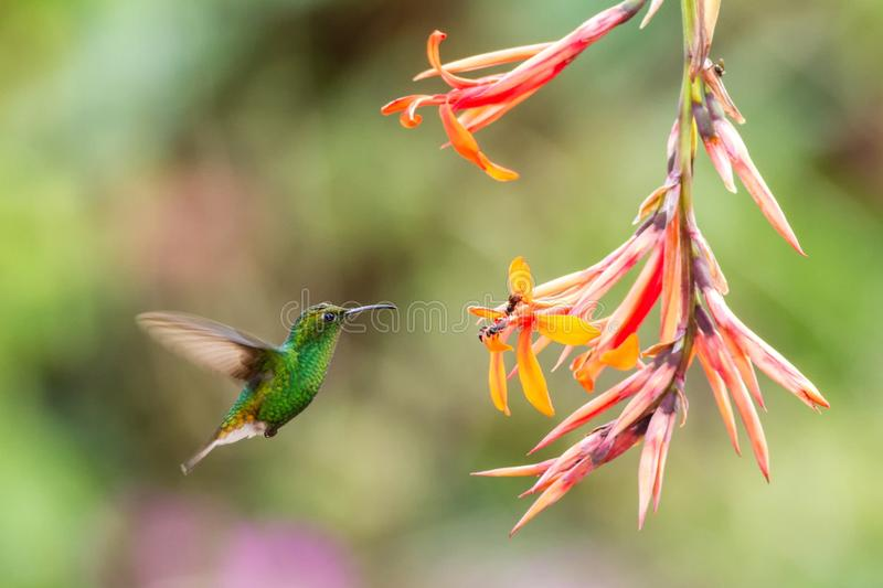 Coppery-headed Emerald, Elvira cupreiceps, hovering next to orange flower, bird from mountain tropical forest, Costa Rica. Coppery-headed Emerald, Elvira stock image