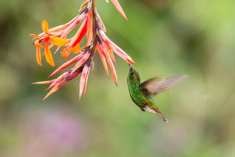 Coppery-headed Emerald, Elvira cupreiceps, hovering next to orange flower, bird from mountain tropical forest, Costa Rica. Coppery-headed Emerald, Elvira royalty free stock photos