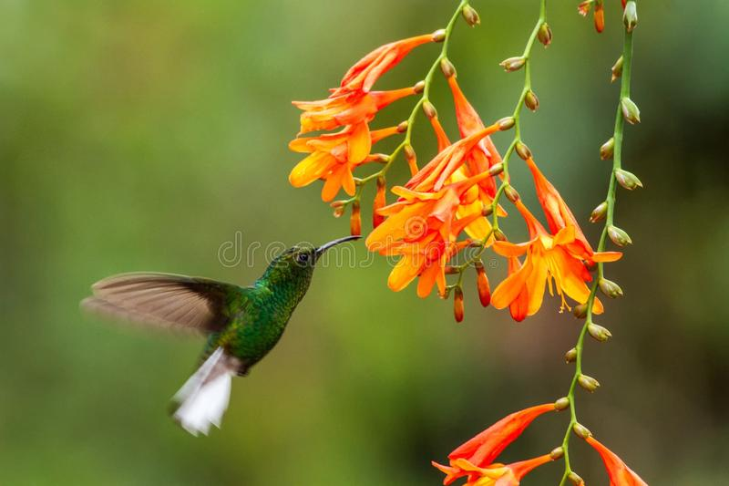 Coppery-headed Emerald, Elvira cupreiceps, hovering next to orange flower, bird from mountain tropical forest, Costa Rica. Coppery-headed Emerald, Elvira stock photography