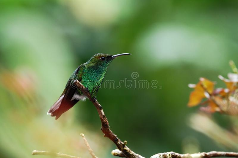 Coppery-headed emerald Elvira cupreiceps sitting on branch, bird from mountain tropical forest, Waterfalls garden, Costa Rica royalty free stock photography