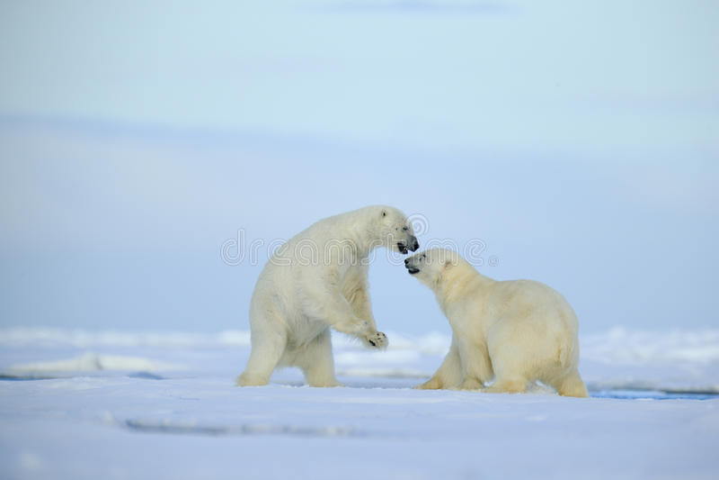 Coppia gli orsi polari che combattono sul ghiaccio galleggiante con neve e sul cielo blu nelle Svalbard artiche fotografie stock libere da diritti